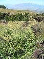 Starr 050817-3891 Rubus glaucus.jpg