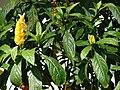 Starr 070403-6383 Pachystachys lutea.jpg