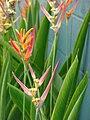 Starr 070730-7747 Heliconia psittacorum.jpg