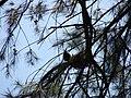 Starr 080601-5181 Casuarina equisetifolia.jpg