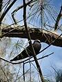 Starr 080614-8900 Casuarina equisetifolia.jpg