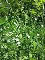 Stellaria graminea sl19.jpg