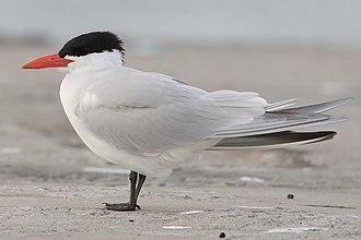 Caspian tern - breeding plumage Canada
