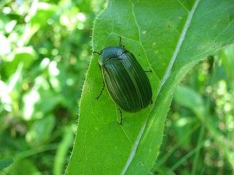 Melolonthinae - Stethaspis sp. (Stethaspini/Xylonychini)