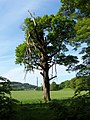 Storm damaged tree - geograph.org.uk - 289663.jpg