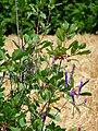 Strauch mit Beeren und Pflanze mit lila Blüten.JPG
