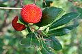 Strawberry Tree fruit 2.jpg
