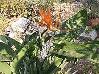 Strelitzia reginae from Kedumim 109.jpg