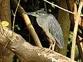 Striated Heron Butorides striata by Dr. Raju Kasambe DSCN0777 (19).jpg