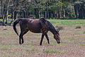 Stukenbrock - 2016-05-01 - Senner Pferde Moosheide (057).jpg
