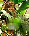 Sumatran frogmouth (cropped).jpg