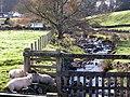 Sunbathing Sheep next to the Mill Burn, Corsock - geograph.org.uk - 597167.jpg