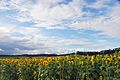 Sunflower farm - panoramio.jpg