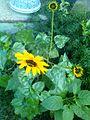 Sunflower image6.jpg