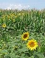 Sunflowers at field edge - geograph.org.uk - 1528101.jpg