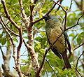 Swallow Tanager (Tersina viridis)..jpg