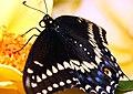 Swallowtail (3589139671).jpg