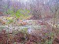 Swamp through the thicket - panoramio.jpg