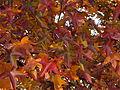 Sweetgum (Liquidambar styraciflua) in Mellon Park, Pittsburgh 01.jpg