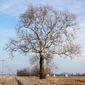 Sycamore in Warren County, Indiana.png