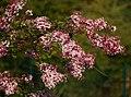 Syringa microphylla E.jpg
