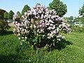 Syringa pubescens arboretum Breuil 1.jpg