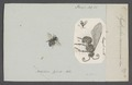 Systropha - Print - Iconographia Zoologica - Special Collections University of Amsterdam - UBAINV0274 045 06 0005.tif