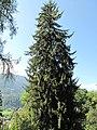Tall Picea (Samoens).jpg