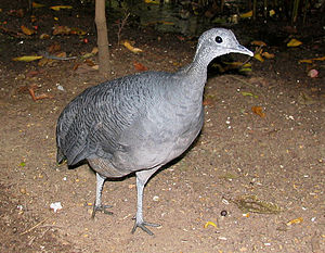 Grey tinamou - Image: Tao 001 edit crop