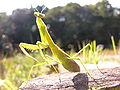 Tenodera angustipennis Saussure(Pregnant) DSCN9576.jpg