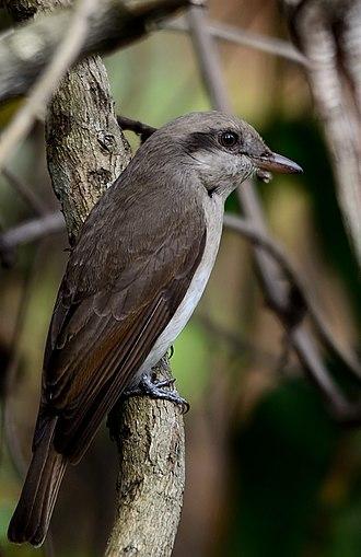 Manas National Park - Tephrodornis gularis