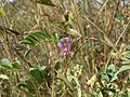 Tephrosia purpurea (L.) Pers. (1778750796).jpg