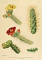 The Cactaceae (Plate X) (6026504326).jpg