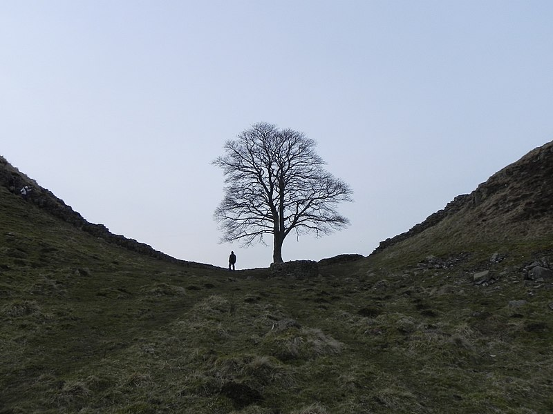File:The Robin Hood Tree in Sycamore Gap - panoramio.jpg