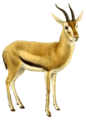 The book of antelopes (1894) Gazella rufifrons (white background).png