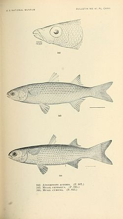 The fishes of North and Middle America (Pl. CXXVI) (7983371920).jpg