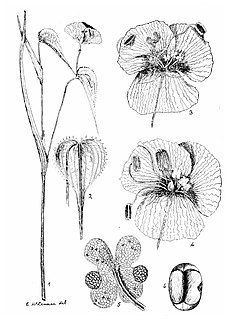 Ethel Irene McLennan Australian botanist and educator