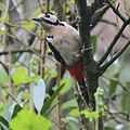 The great spotted woodpecker is back again in the gardens - panoramio.jpg