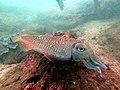 The innocent cuttlefish.jpg