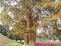The tree in golden sunlight.JPG