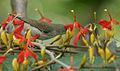 Thick-billed Flowerpecker (Dicaeum agile) on Helicteres isora W2 IMG 1389.jpg