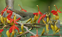 Thick-billed Flowerpecker (Dicaeum agile) on Helicteres isora W2 IMG 1389.jpg