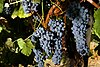 Plump, blue-black skinned grapes hang on the vine.