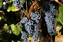 Several cluster of blue-black grapes hang from the vine