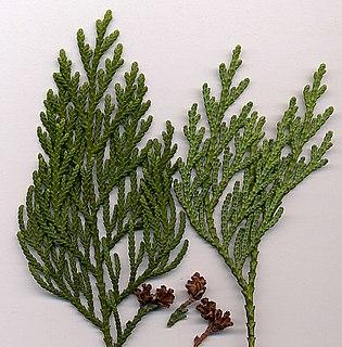 <i>Thuja</i> genus of plants