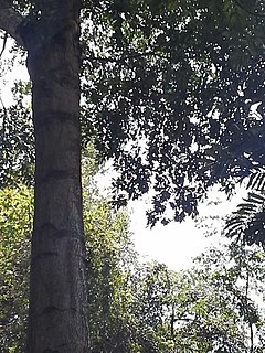 <i>Tieghemella heckelii</i> Species of tree