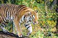 Tiger (15438877920).jpg