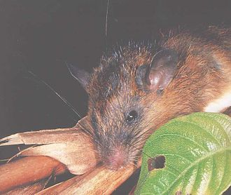 Niviventer - Dark-tailed tree rat (Niviventer cremoriventer)