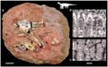 Titanosaur sauropod hatchling and egg.png