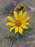 Tithonia diversifolia (Japanese sunflower).jpg